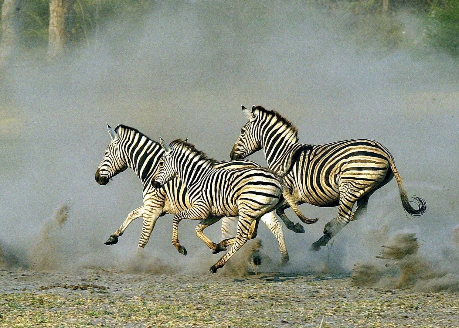 zebra migration botswana travel guides audley travel