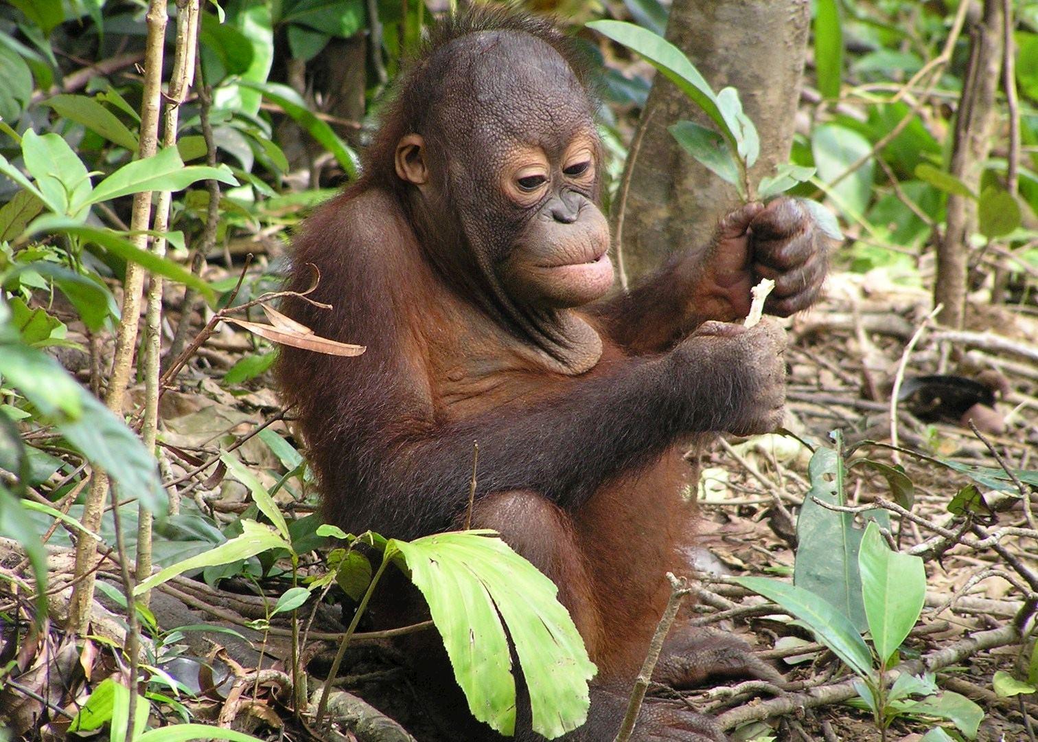 Orangutans Amp Islands Of Borneo Audley Travel