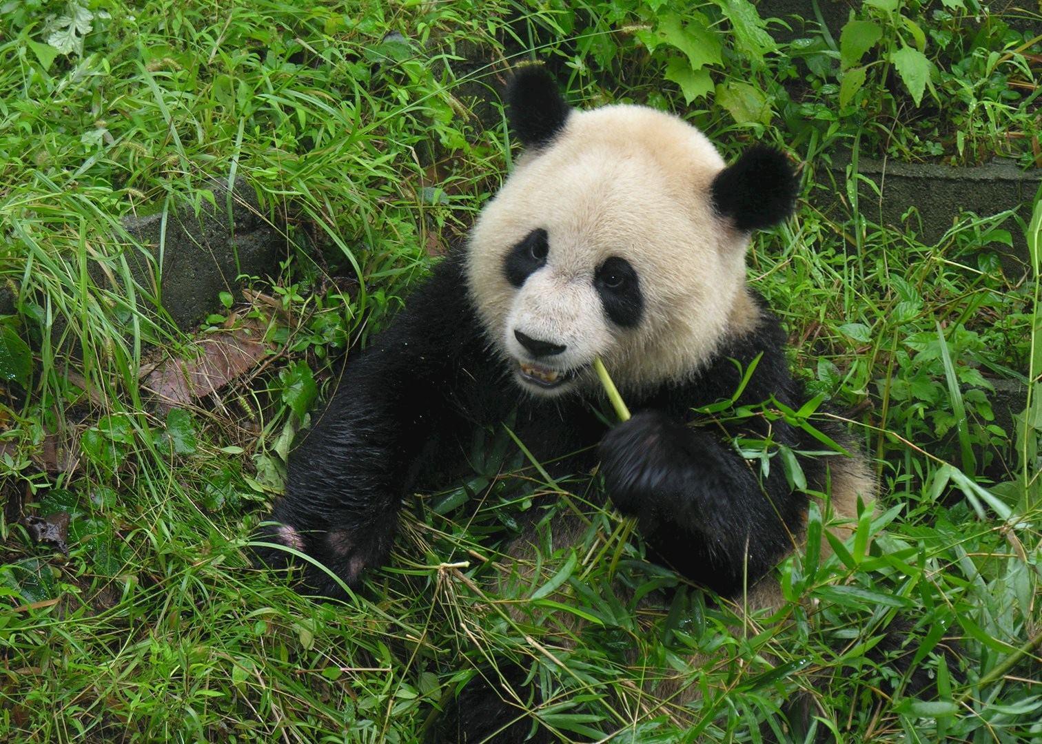 Panda Research Base, China | Audley Travel