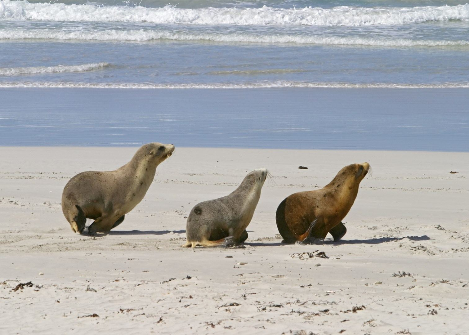 visit kangaroo island on a trip to australia audley travel