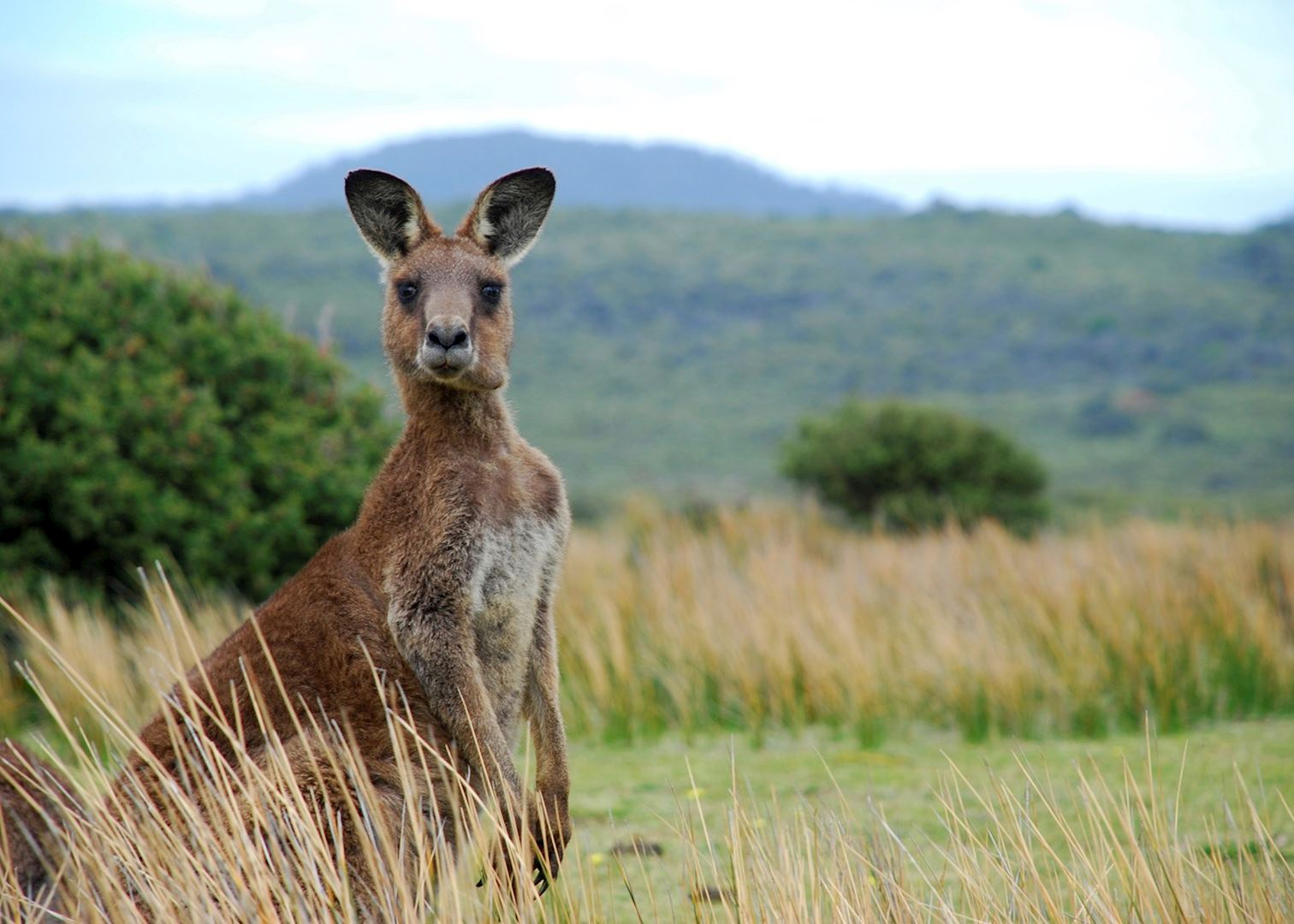 Y So Kangaroo Song Exceptional Kangaroo I...