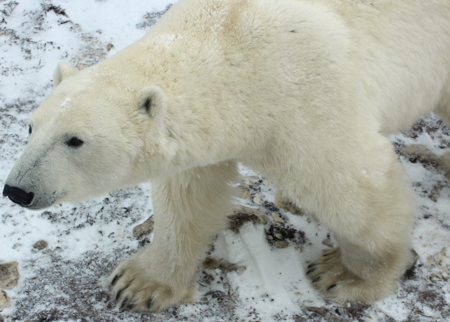 Polar bear watching in Canada   Travel guide   Audley Travel