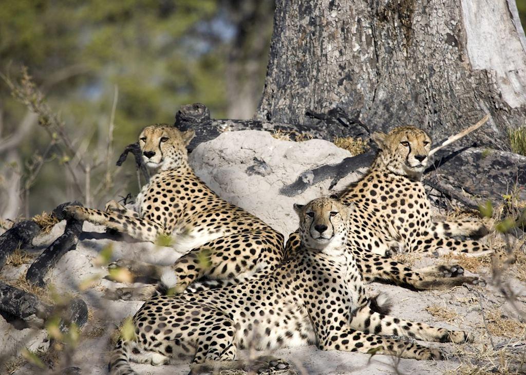 Cheetah in the Okavango Delta
