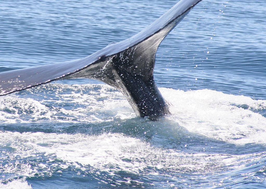 Humpback whale breaching, Baja California
