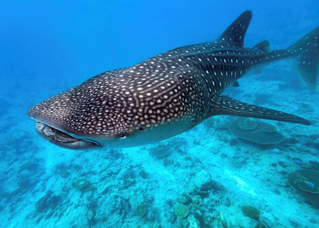 Whale Shark, The Maldives