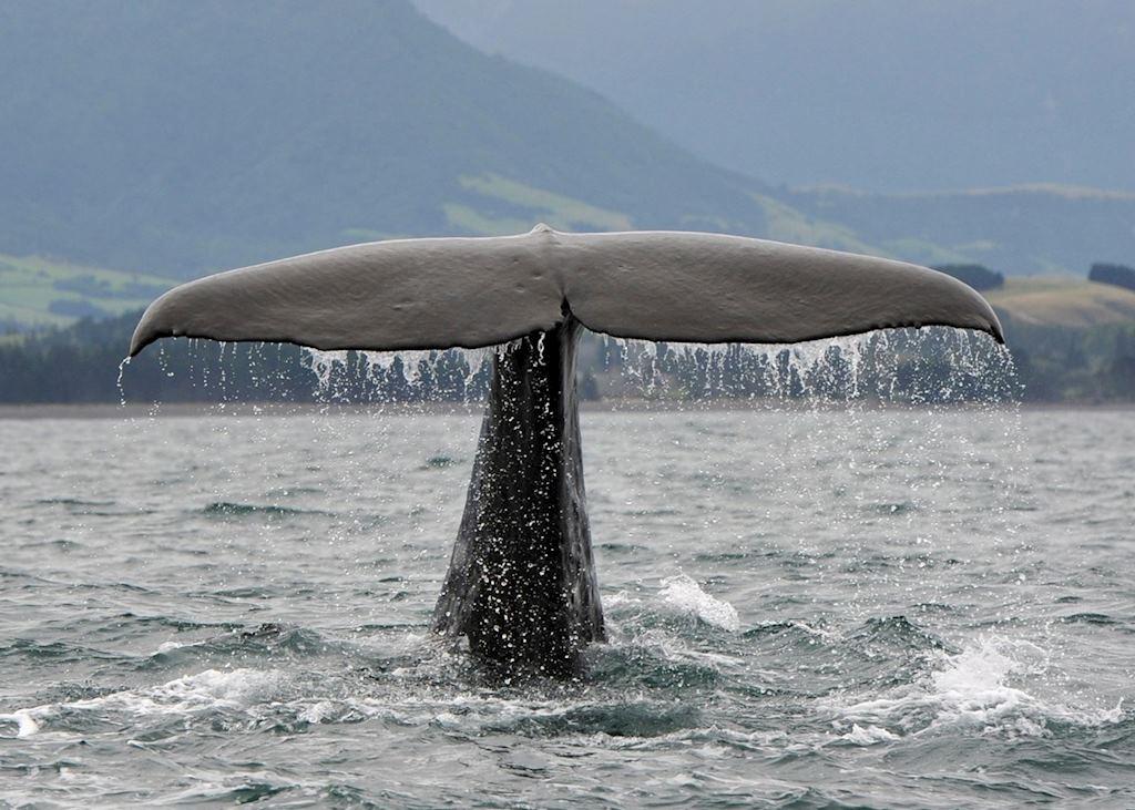 Sperm whale, Kaikoura