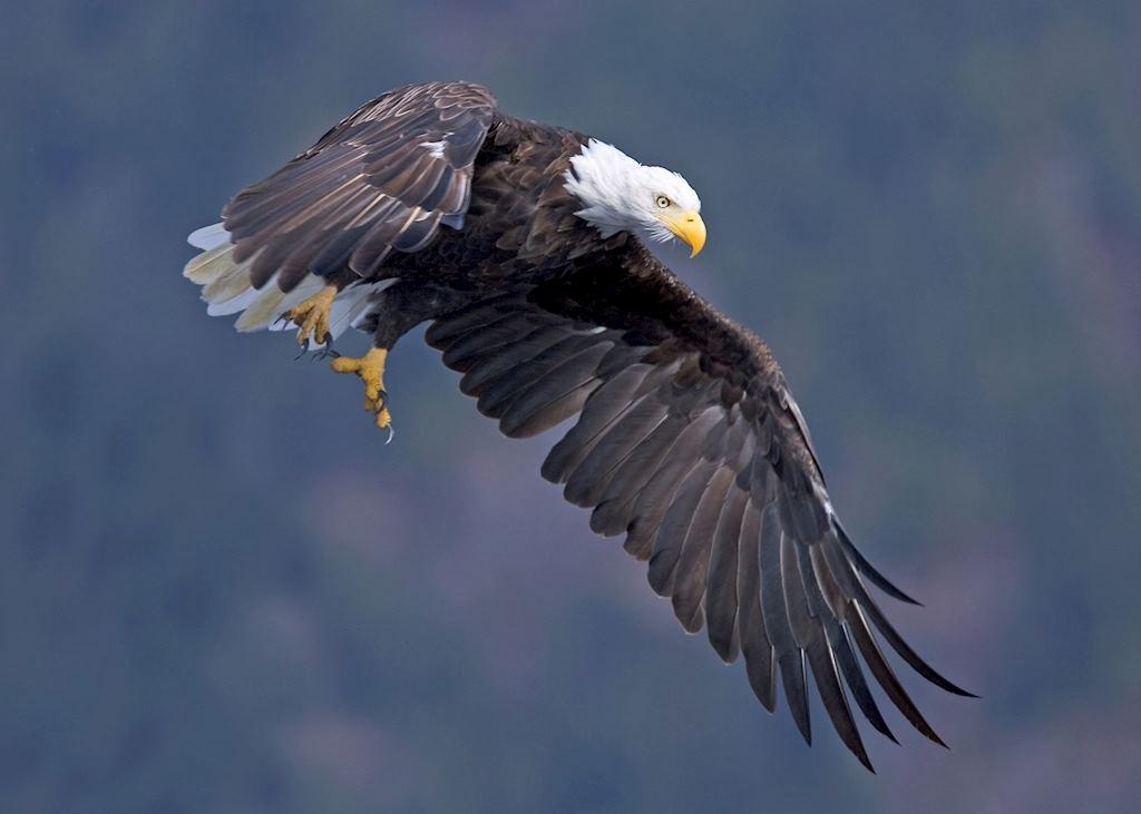 Eagle in flight by Matt Maran