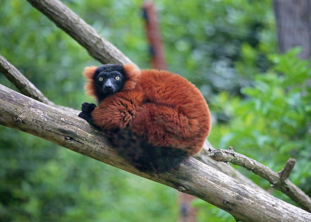 Red ruffed lemur, Masoala