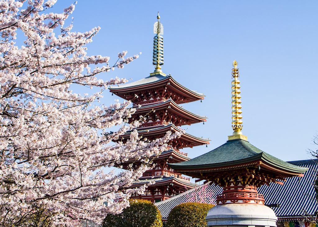 Cherry Blossom at Sensoji Temple in Asakusa, Tokyo