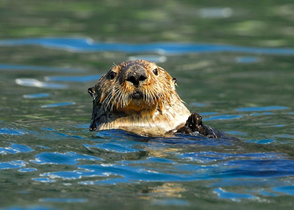 Otter, Resurrection Bay