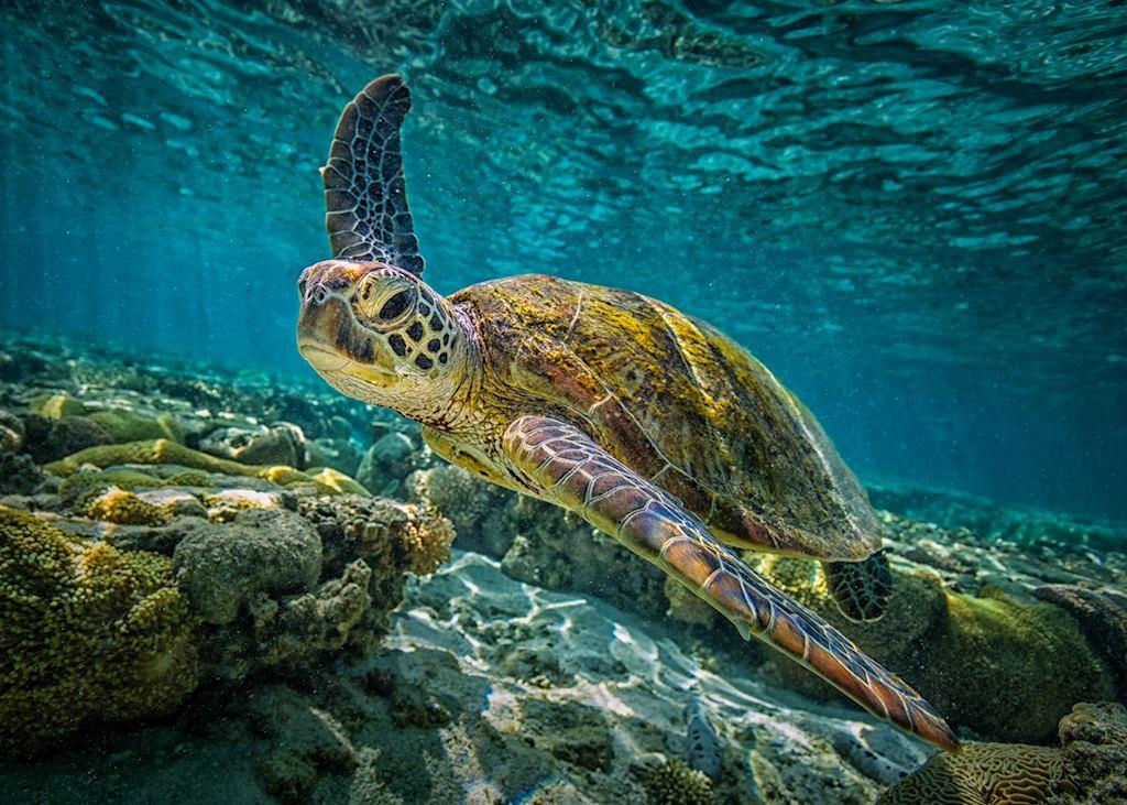 Green Turtle, Great Barrier Reef