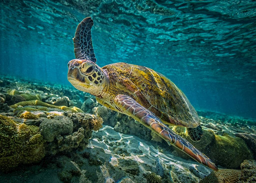Green Turtle, Great Barrier Reef