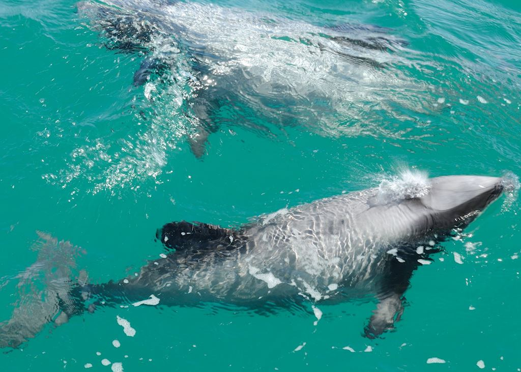 A pair of Hector's dolphins