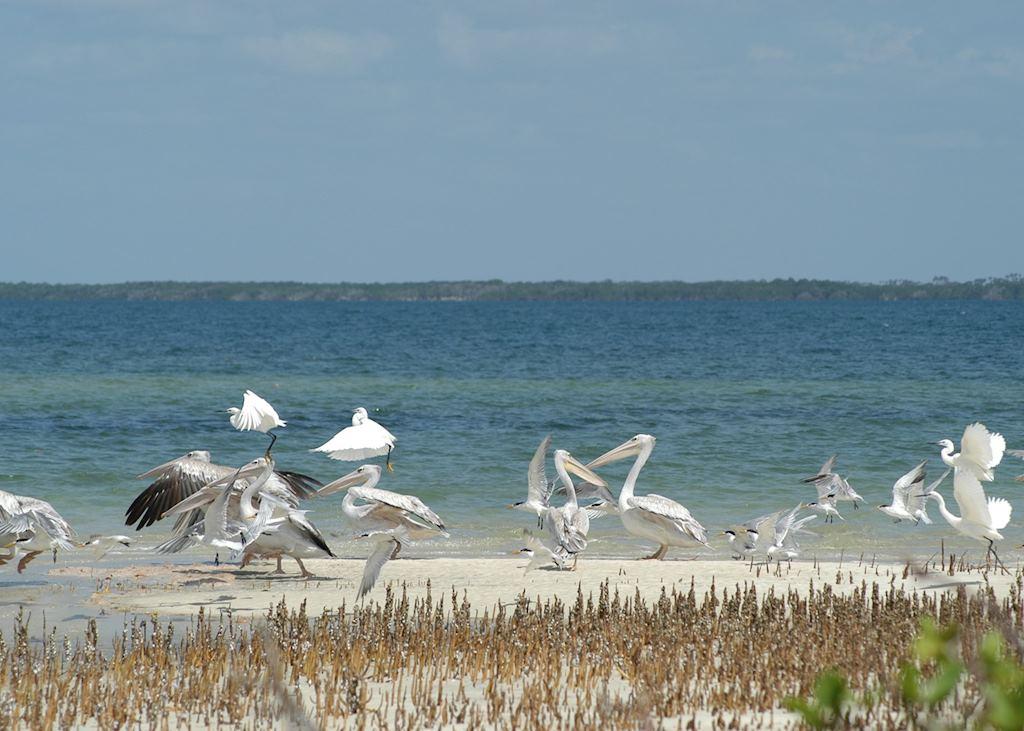 Pelicans and egrets on the Watamu coast