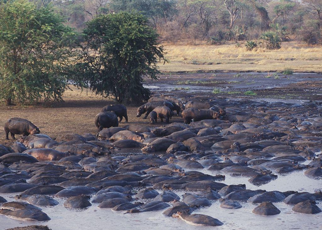 Hippos - Katavi National Park