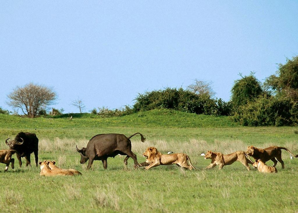 Lion hunting buffalo in the Duba Concession