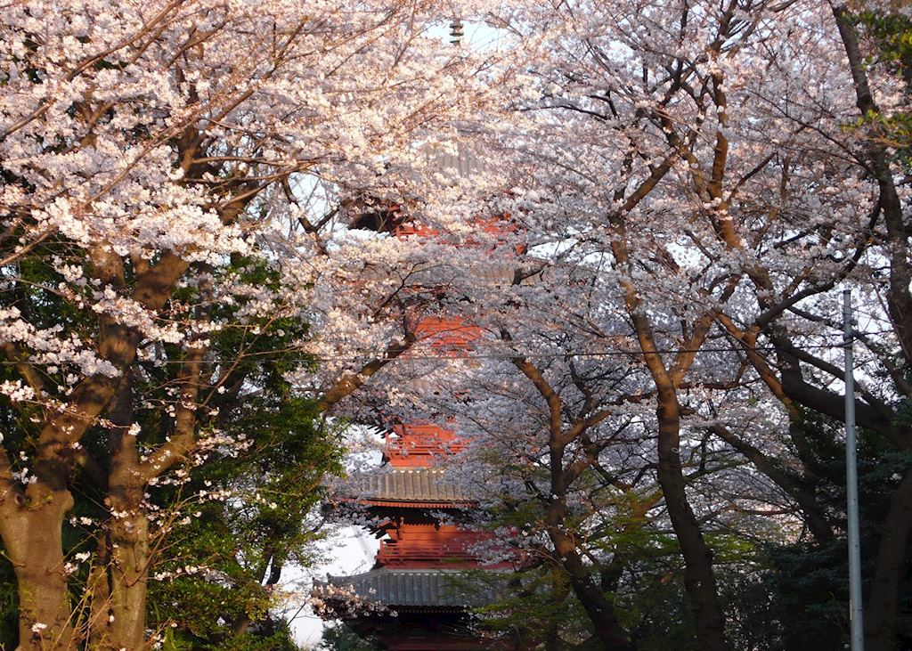 Cherry blossoms at Honmonji Temple