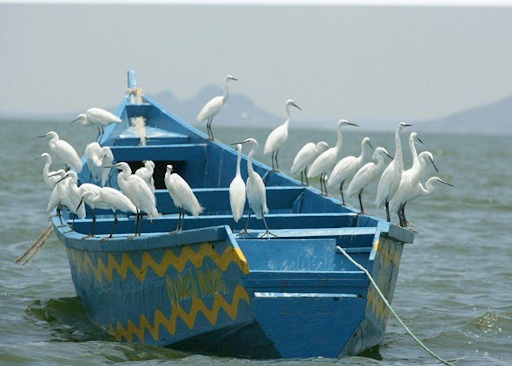 Egrets on Lake Victoria