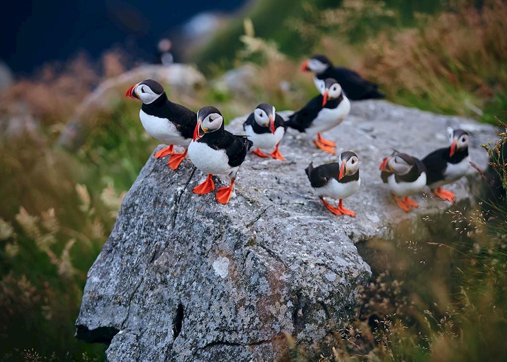 Puffins on Runde Bird Island
