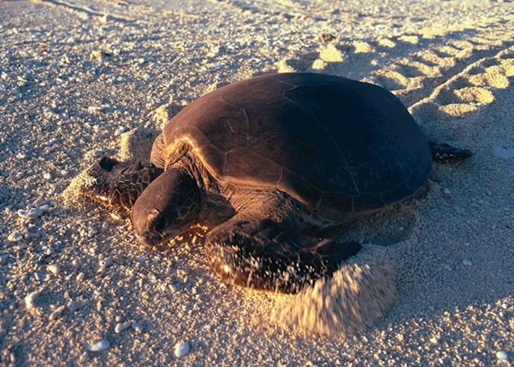 Turtle, Wilson Island