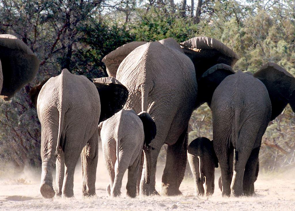 Desert elephant on the move