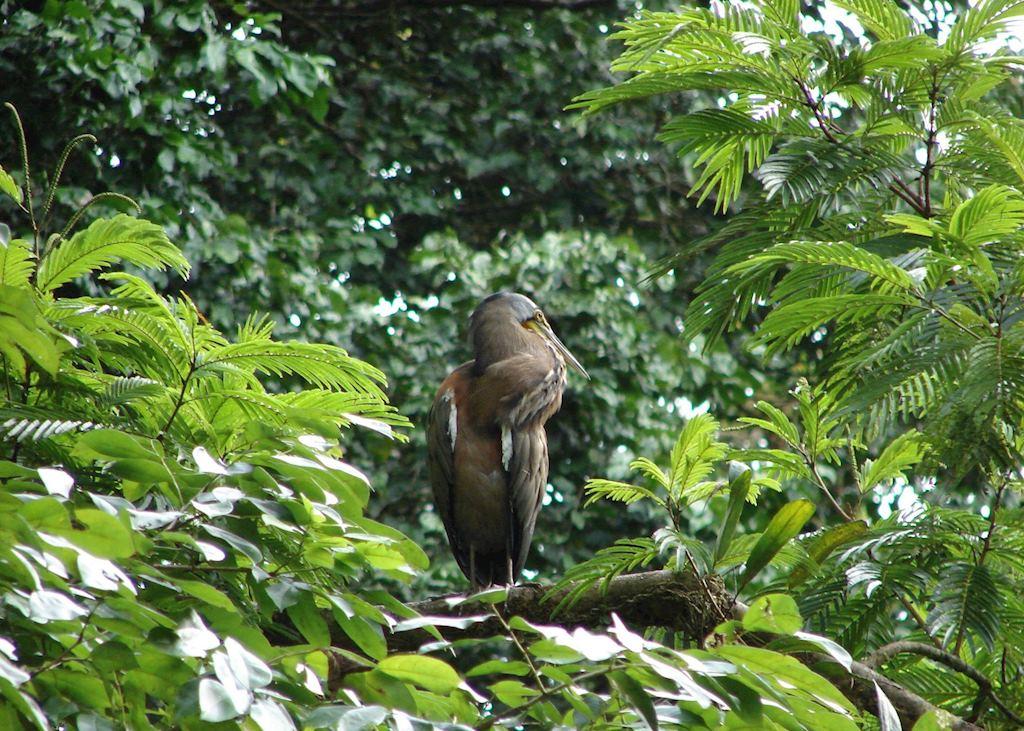Snake bird, Tortuguero National Park