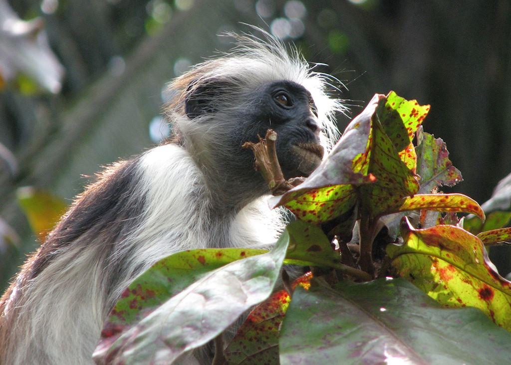 Kirk's red colobus monkey, Jozani Forest Tour