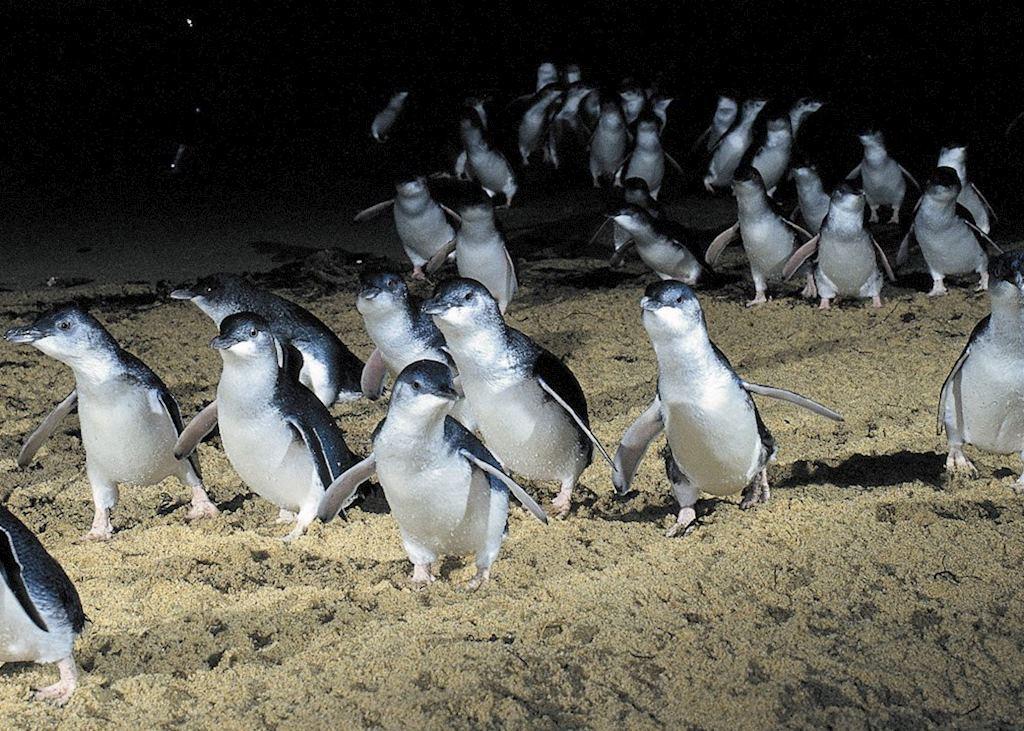 Penguin Parade, Phillip Island, Australia