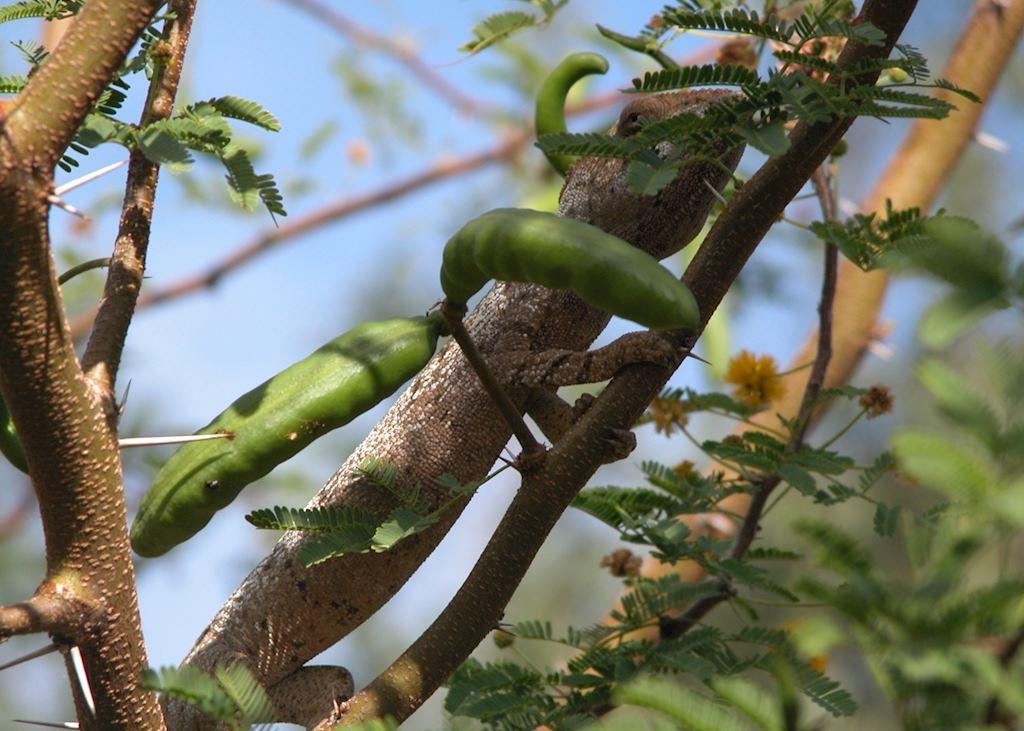 Chameleon near Joffreville, Madagascar