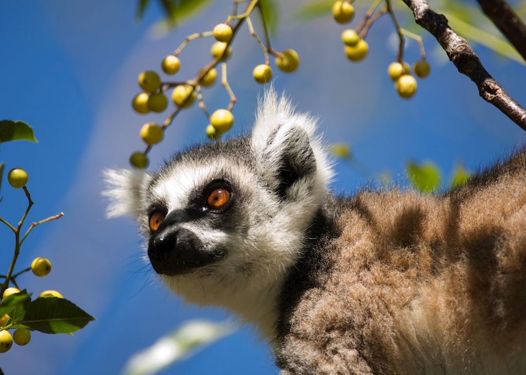 Ring tailed lemur, Madagascar