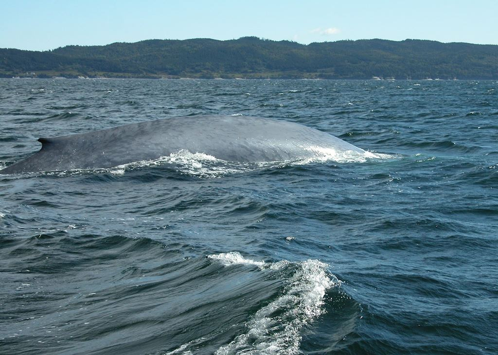 Blue whale watching, Gaspé