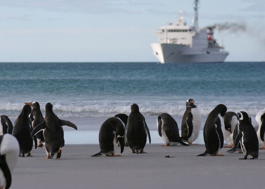 Gentoo penguins, Saunders Island, The Falkland Islands