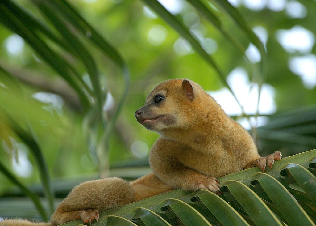Honey bear, Belize