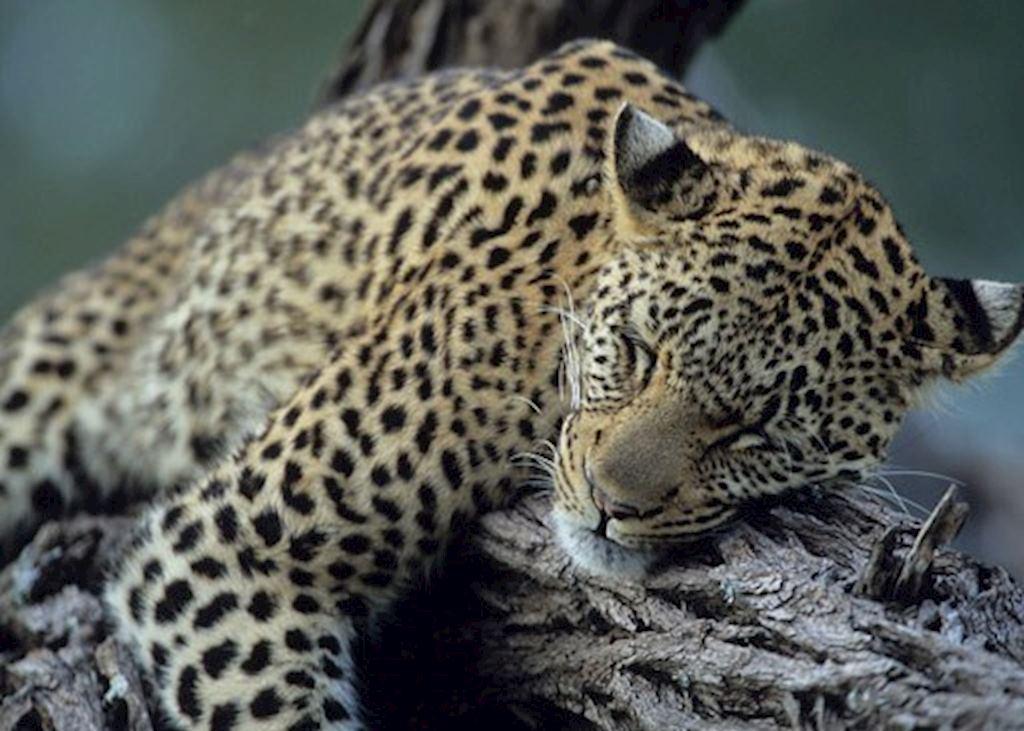 Sleeping leopard, Selinda Concession, Botswana