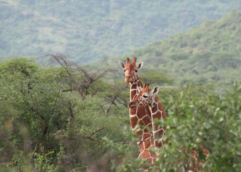 Giraffe, Il N'gwesi Group Ranch