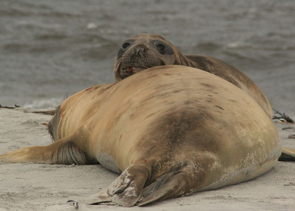 Female Elephant Seals, Sea Lion Island, The Falkland Islands