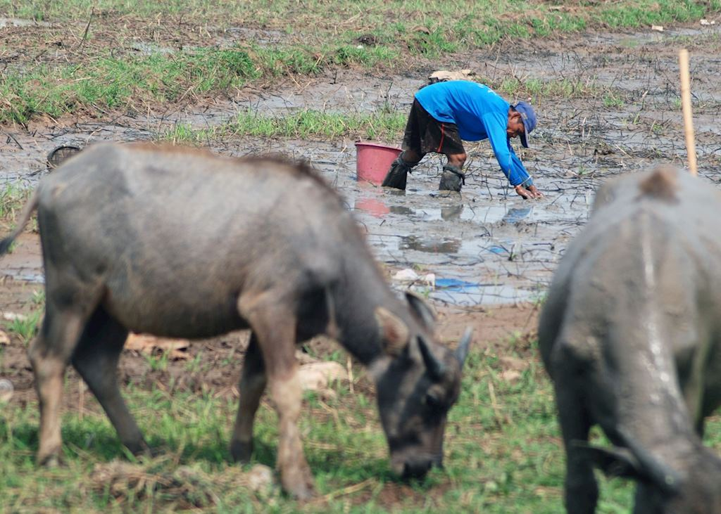 Fishing by hand in muddy paddies is a familiar site in Isaan