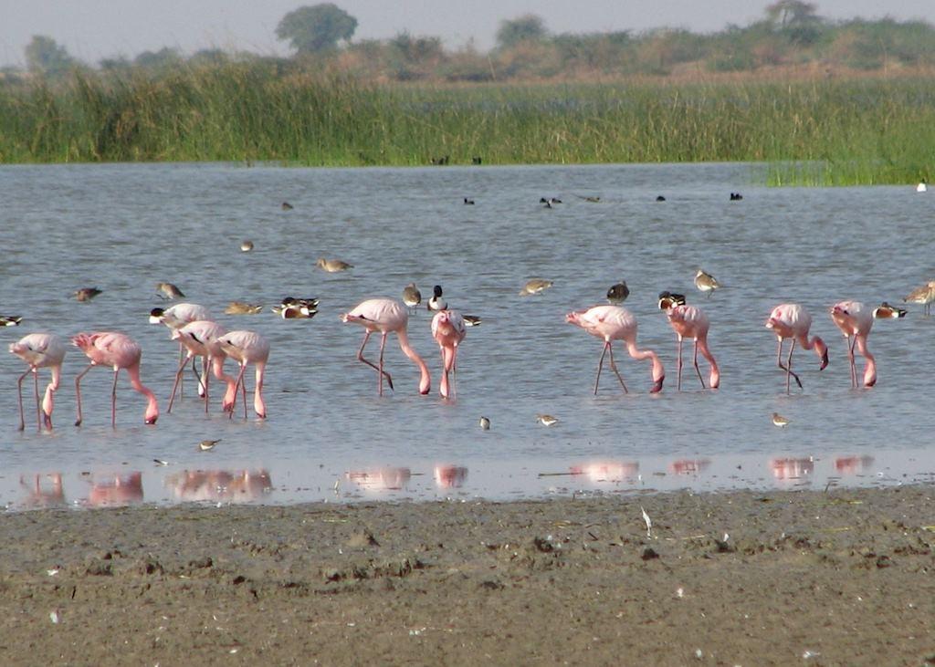 Flamingos in the Little Rann of Kutch