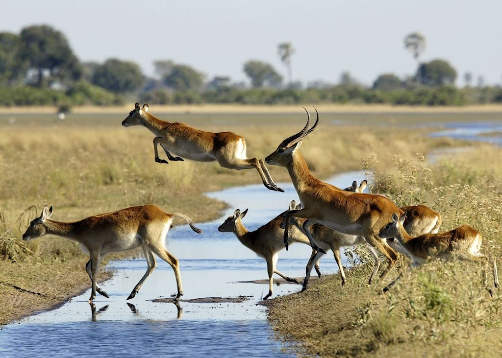 Red lechwe crossing a stream in the Jao Concession