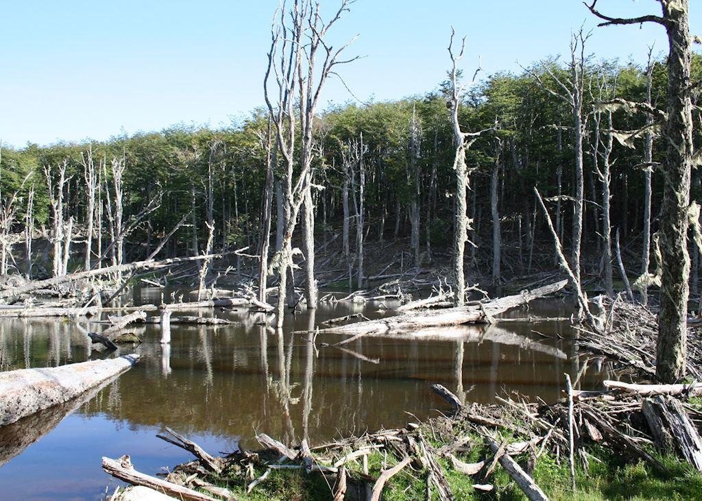 A beaver dam near Lago Fagnano