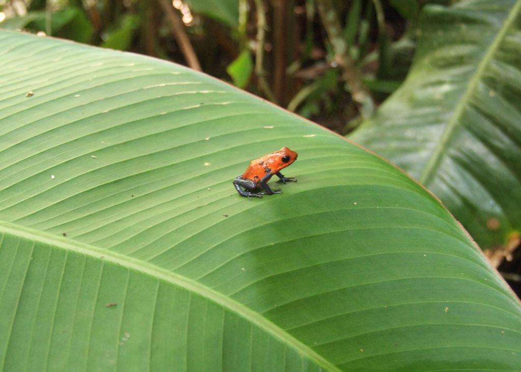 Poison dart frog, Los Guatuzos Wildlife Refuge