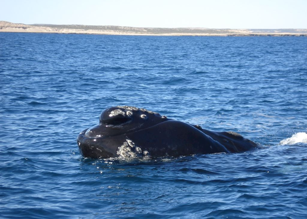 Southern Right Whale, Peninsula Valdes, Argentina