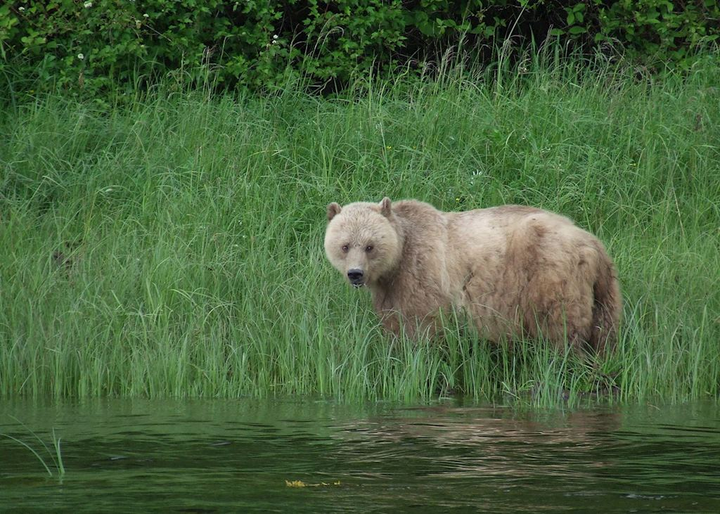 Grizzly Bear at Knight Inlet Lodge