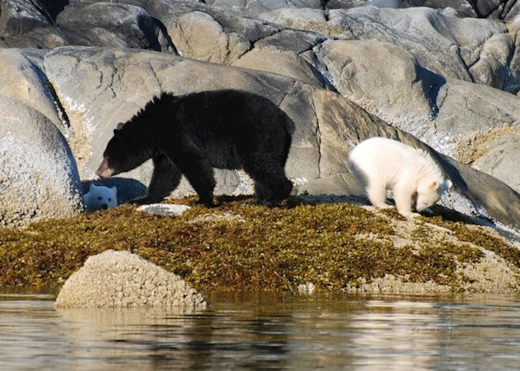 Spirit bears with their black bear mother on Princess Royal Island