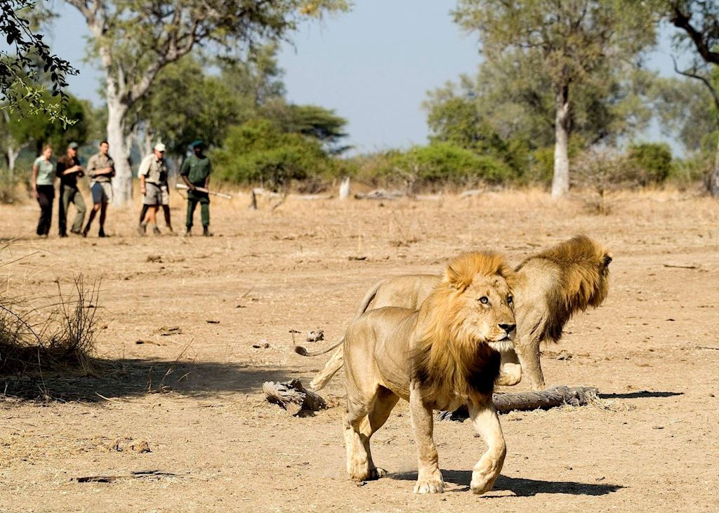 Tracking lion on a walking safari