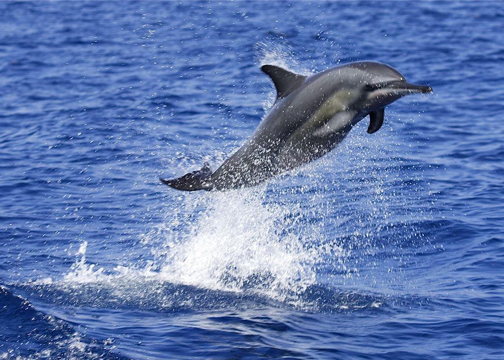 Dolphin, Pemba Island