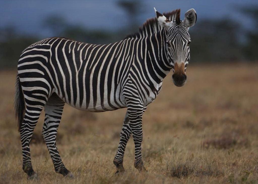 Zebra from Kicheche Laikipia