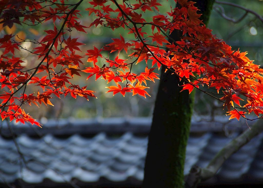 Momiji autumn leaves