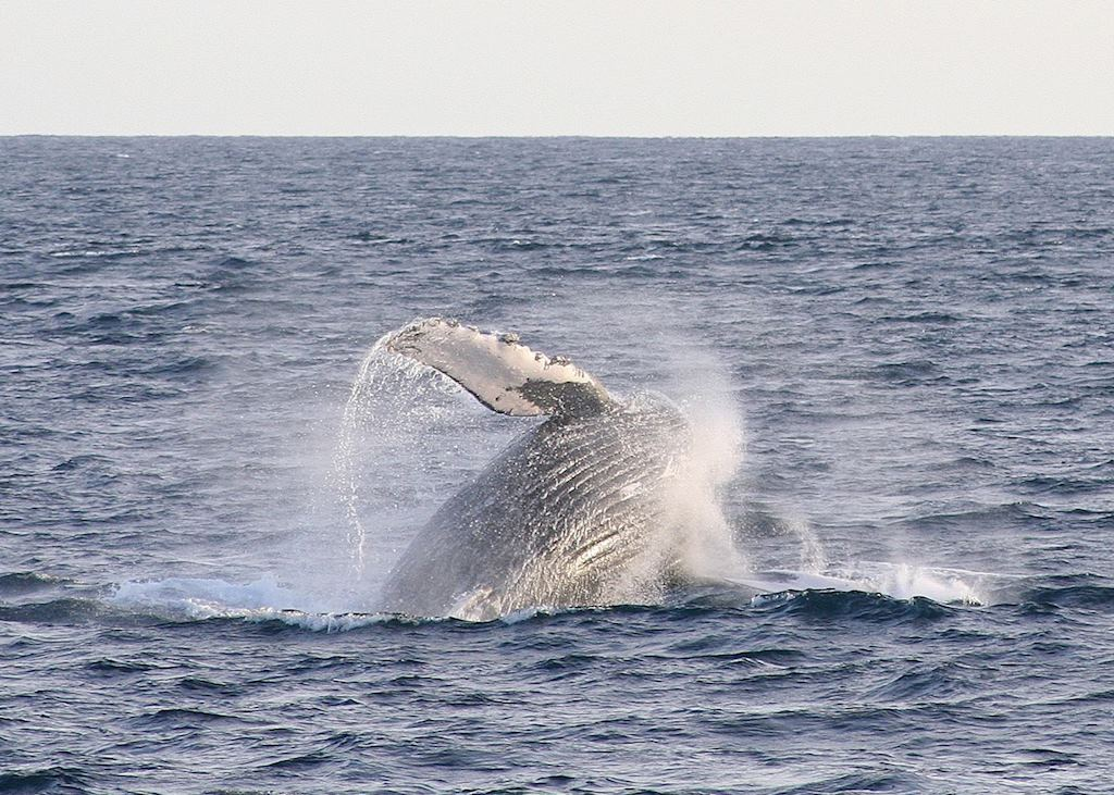 Humpback whale breaching, Baja California