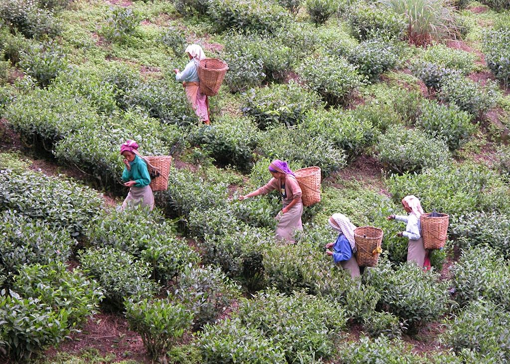 Tea pickers, Darjeeling